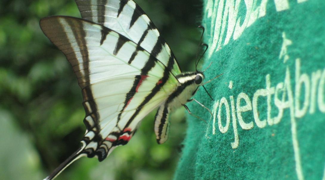 Mariposa posando sobre la espalda de un voluntario ambiental en Perú.